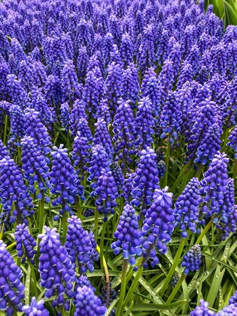 Grape hyacinth (Muscari neglectum) is a perennial bulbous plant. Muscari are perennial bulbous plants native to Eurasia. They produce spikes of dense, commonly blue, urn-shaped flowers. It is sometimes grown as an ornamental plant, for example, in temperate climates as a spring bulb. Imagens - 129771812