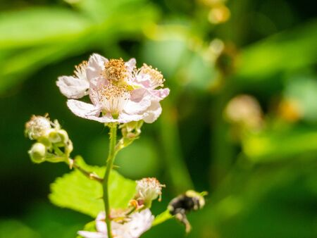Himalayan blackberry (Rubus armeniacus) is a species of Rubus native to Armenia and Northern Iran, and widely naturalised elsewhere.