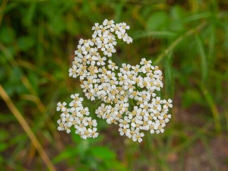 Cow parsley (Anthriscus sylvestris) is a herbaceous biennial or short-lived perennial plant in the family Apiaceae (Umbelliferae) genus Anthriscus. Banco de Imagens