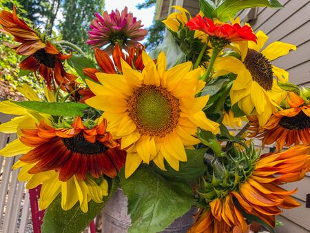 Bucket of sunflowers in rustic pewter toned bucket. Stok Fotoğraf