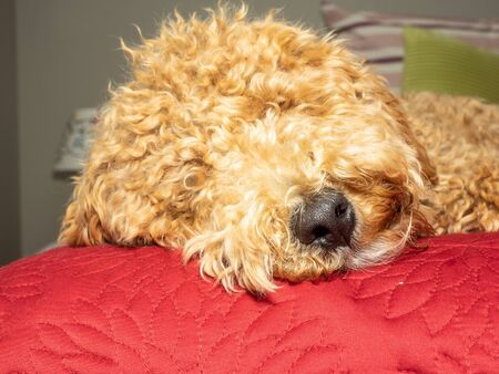 Mocha durmiendo la siesta del mediodía después de jugar.