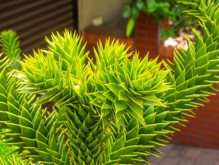 Monkey puzzle tree (Araucaria araucana) is a popular garden tree, planted for its unusual effect of the thick, reptilian, branches with a very symmetrical appearance.