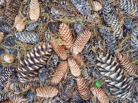 Assorted cones laying on the ground under a tree
