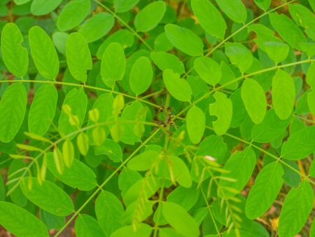 Black locust (Robinia pseudoacacia) is a medium-sized hardwood deciduous tree endemic to a few small areas of the United States