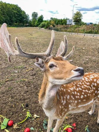 Fallow deer (Dama dama) is a ruminant mammal belonging to the family Cervidae. This common species is native to Europe.