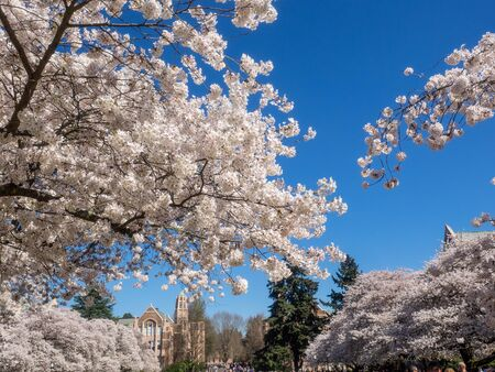 The Liberal Arts Quadrangle, more popularly known as the Quad, is the main quadrangle at the University of Washington in Seattle, Washington. The quad is lined with thirty Yoshino cherry trees, which draw sightseers when they blossom, typically between mid-March and early April.