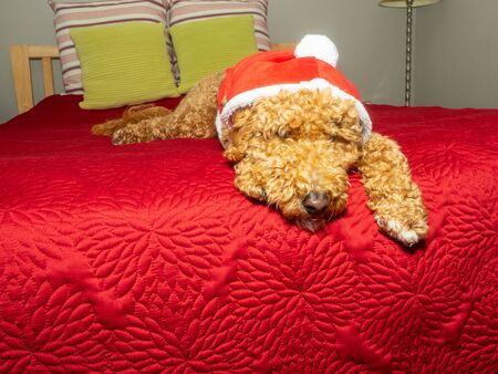 Mocha dressed as Santa Paws, Santa Claus faithful canine companion.