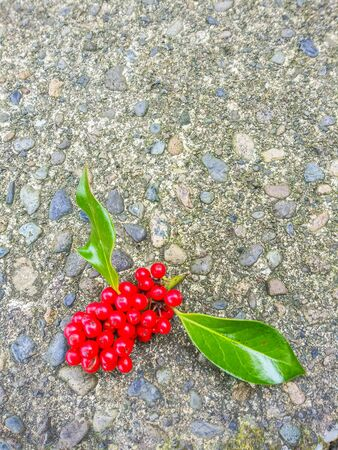 Common holly (Ilex aquifolium) is a species of holly native to western and southern Europe, northwest Africa, and southwest Asia. Stock Photo