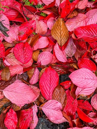 Red in maple leaves comes from anthocyanin, an anti-oxidant that also makes reds and purples in fruits and vegetables, such as apples and beets, and in flowers, such as asters and violets.