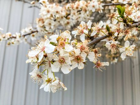 Yoshino cherry (Prunus × yedoensis) is a hybrid cherry of between Prunus speciosa (Oshima zakura) as father plant and Prunus pendula
