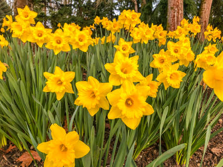 Narcissus is a genus of mainly hardy, mostly spring-flowering, bulbous perennials in the Amaryllis family, subfamily Amaryllidoideae.