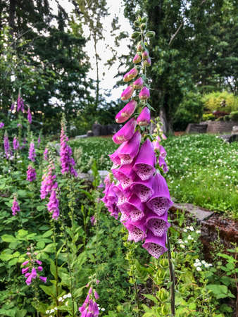 Digitalis is a genus of about 20 species of herbaceous perennials, shrubs, and biennials that are commonly called foxgloves.