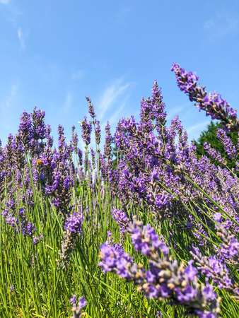 English lavender (Lavandula angustifolia)  is a flowering plant in the family Lamiaceae, native to the Mediterranean.