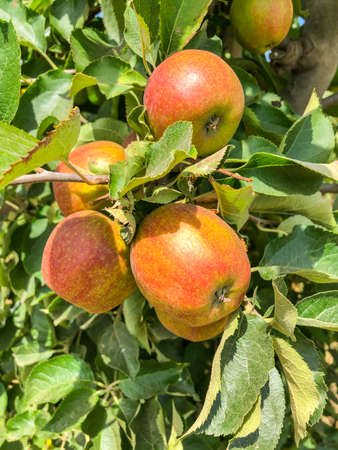 Apple orchard offers pick-your-own apples or fresh apple cider making on the premises