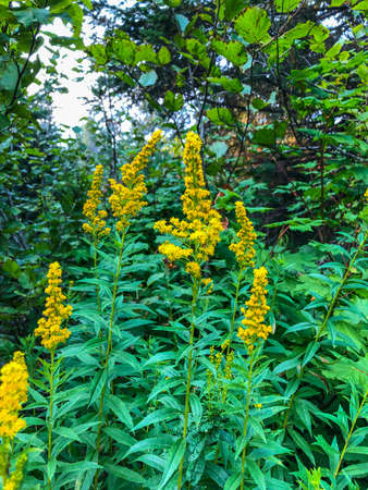 Late goldenrod (Solidago altissima) is a North American species of goldenrod widespread across much of Canada, the United States, and northern Mexico. It is common in much of its range, and fairly tolerant of landscapes which have been disturbed by humans. Imagens