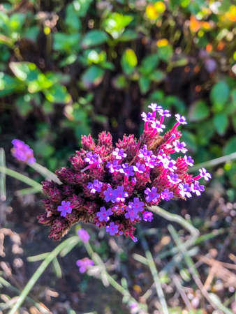 Purpletop vervain (Verbena bonariensis) is a member of the verbena family cultivated as a flowering annual or herbaceous perennial plant. Imagens