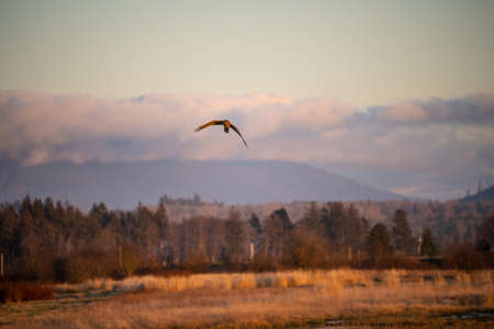 Northern harrier (Circus hudsonius) is a bird of prey. This medium-sized raptor breeds on moorland, bogs, prairies, farmland coastal prairies, marshes, grasslands, swamps and other assorted open areas.