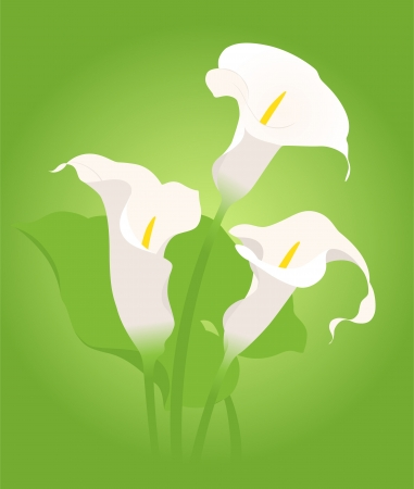 callas: bouquet of three beautiful callas on a green background