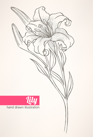 Beautiful hand drawn illustration with lily on a beige background Vector