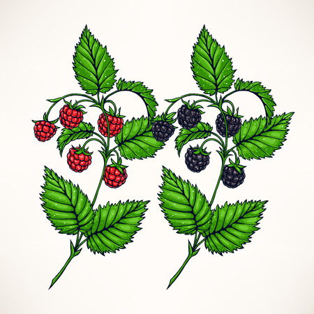 sprigs: two hand-drawn sprigs with raspberries and blackberries