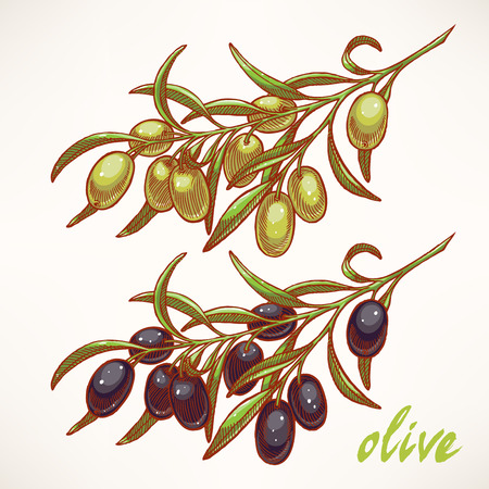 hand-drawn sketch of olive tree branches Vector