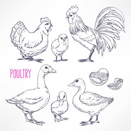 animales granja: Conjunto con diversas aves de corral. pollo, gallo, pato. ilustración de mano