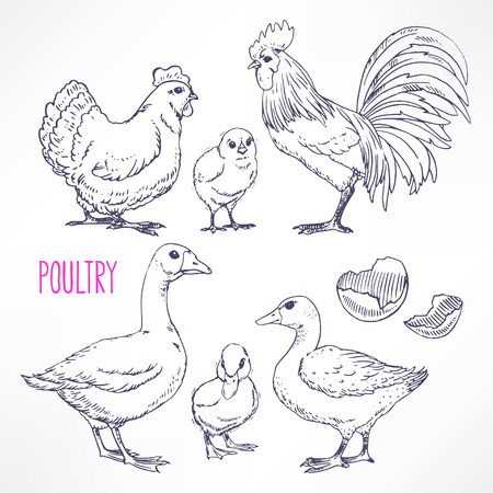 huevo caricatura: Conjunto con diversas aves de corral. pollo, gallo, pato. ilustraci�n de mano