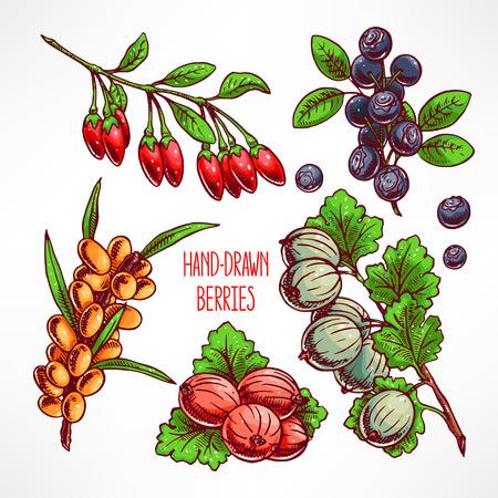 argousier: sertie de différentes baies et les feuilles mûres. illustration dessinée à la main