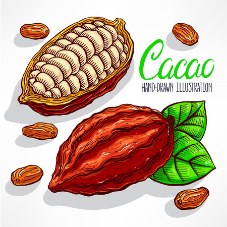 cocoa bean: cacao beans, fruit and leaves. hand-drawn illustration