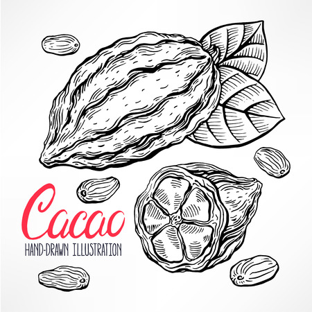 cacao: sketch cacao beans, fruit and leaves. hand-drawn illustration Illustration