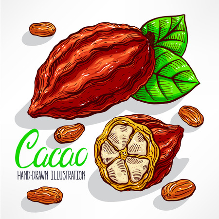 cacao: cacao beans, fruit and leaves. hand-drawn illustration