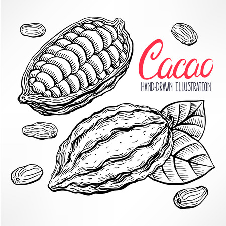 sketch cacao beans, fruit and leaves. hand-drawn illustration Illustration