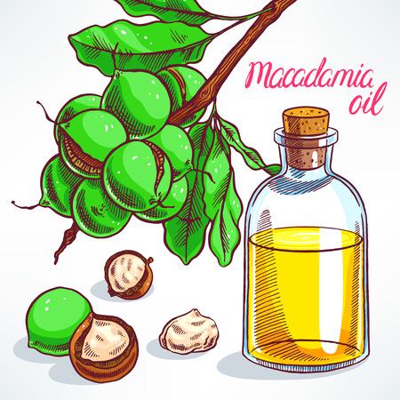 macadamia: macadamia tree branch with fruits and bottle of macadamia oil. hand-drawn illustration Illustration