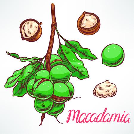 macadamia: macadamia tree branch with fruits. hand-drawn illustration