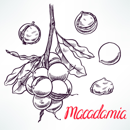 macadamia sketch tree branch with fruits. hand-drawn illustration
