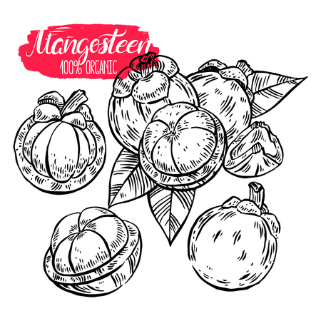 appetizing: Set of appetizing delicious sketch Mangosteen. hand-drawn illustration