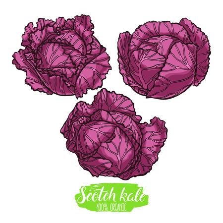 kale: cute set of three different scotch kales. hand-drawn illustration Illustration
