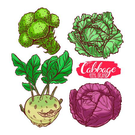 kale: cute set of various kinds of cabbage. white cabbage, Scotch kale, kohlrabi, broccoli. hand-drawn illustration Illustration