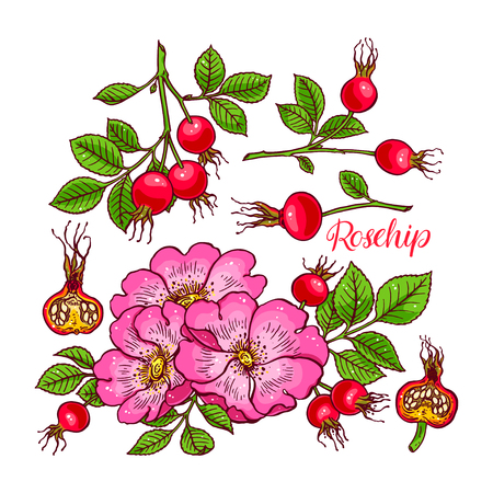 beautiful set of dogrose flowers and fruits. hand-drawn illustration
