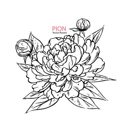 Hand drawn pion flower realistic. vector llustration