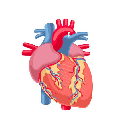Human heart anatomy isolated on white background. Vector illustration