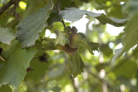 close-up of fresh hazelnuts on tree branch