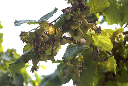 Fresh hazelnuts on tree branch
