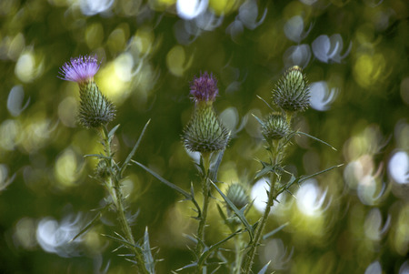 Pink Thistle Flower. used in the field of herbal medicine Thistle flower, symbol of Scotland Standard-Bild