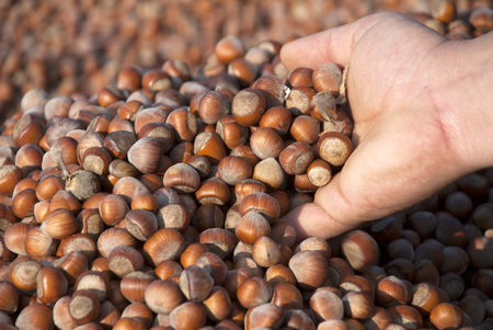 Hazelnuts Stok Fotoğraf