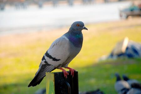 Pigeon. Colorful pigeon - clipping path.