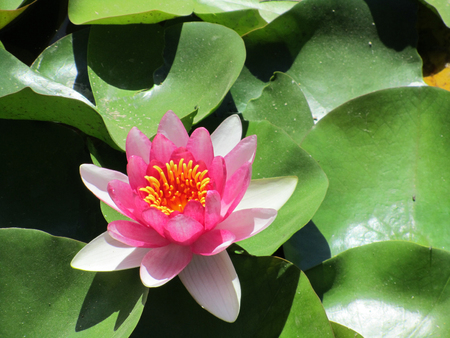 Closeup of Pink lotus. Nelumbo nucifera, also known as Indian lotus, sacred lotus Stock Photo