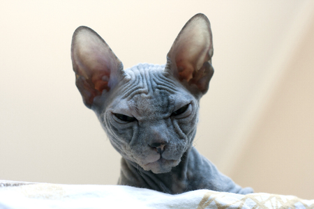 Bald cat sphinx with wrinkles and folds. Closeup portrait