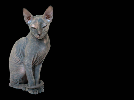 Bald Sphynx kitten with wrinkles and folds sitting. Portrait, isolate on black background Stock Photo