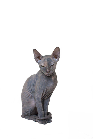 Bald Sphynx kitten with wrinkles and folds sitting. Isolate Stock Photo